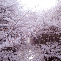 2012sakura3